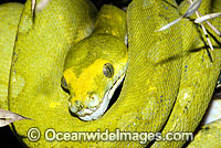 Green Python Morelia viridis sub-adult Photo - Gary Bell