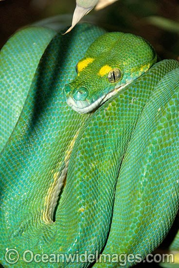 Green Python (Morelia viridis) - sub-adult still possessing juvenile yellow markings. Rainforests of North Queensland, Australia and Papua New Guinea. Non-venomous snake. Photo - Gary Bell