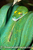 Green Python Photo - Gary Bell