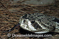 Eastern Diamondback Rattlesnake Photo - Gary Bell