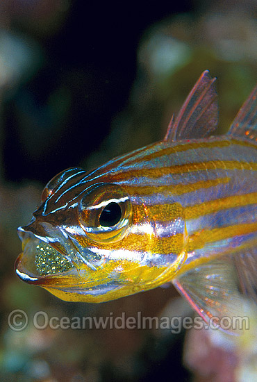 Male Orange-lined Cardinalfish (Apogon cyanosoma) aerating eggs held inside it's mouth. Great Barrier Reef, Queensland, Australia