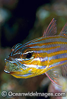 Orange-lined Cardinalfish aerating eggs in mouth Photo - Gary Bell