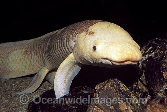 Australian Lungfish (Neoceratodus forsteri). Also known as Queensland Lungfish, Djellah and Ceratodus. Burnett and Mary River systems, Queensland, Australia. Listed as Endangered Species in CITES. A Protected Species.
