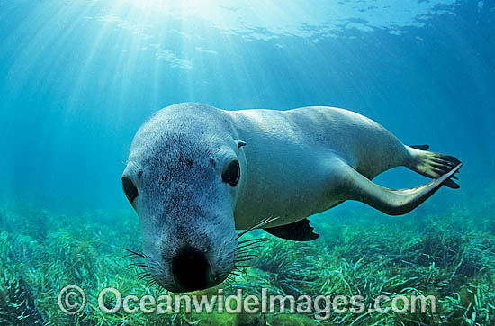 Australian Sea Lion (Neophoca cinerea). Hopkins Island, South Australia. Classified Endangered on the IUCN Red List.