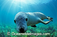 Australian Sea Lion underwater Photo - Gary Bell