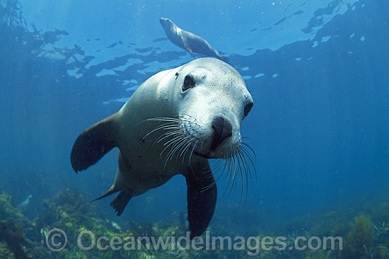 Australian Sea Lions (Neophoca cinerea). Hopkins Island, South Australia. Classified as Endangered on the IUCN Red List.