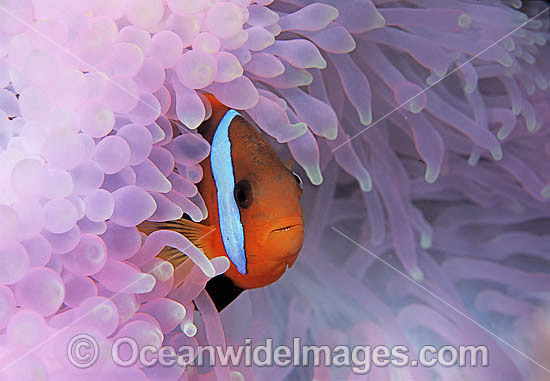Black Anemonefish (Amphiprion melanopus) amongst anemone tentacles which have been bleached during extreme warm water temperatures due El Nino. Great Barrier Reef, Queensland, Australia