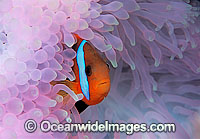 Black Anemonefish Amphiprion melanopus photo