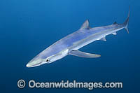 Blue Shark Prionace glauca photo
