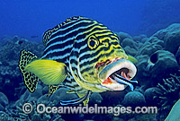 Cleaner Wrasse cleaning Oriental Sweetlips Photo - Gary Bell