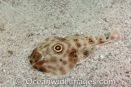 Bullseye Electric Ray (Diplobatus ommata). Also known as Bulls-eye Electric Ray. Los Islotes, La Paz, Baja California, Mexico, Sea of Cortez.This ray is capable of delivering a strong electric shock and uses its electric organs to stun prey.