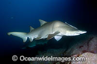 Deformed Sand Tiger Shark Carcharias taurus Photo - Andy Murch