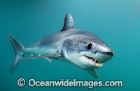 Shortfin Mako Blue Pointer Photo - Andy Murch