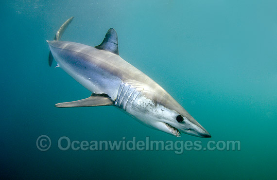 Shortfin Mako Shark (Isurus oxyrinchus). Also known as Mako Shark, Blue Pointer, Mackeral Shark and Snapper Shark. San Diego, California, USA, eastern Pacific Ocean. Found in both tropical and temperate seas of the world. Photo - Andy Murch