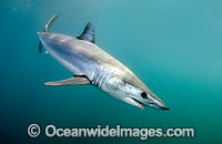 Shortfin Mako Mackeral Shark