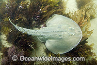 Thornback Ray Platyrhinoidis triseriata Thornback Guitarfish  photo