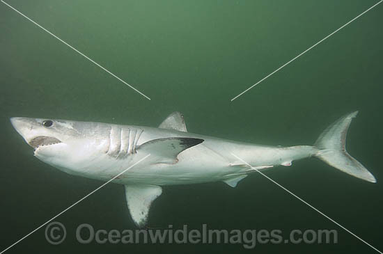 Porbeagle Shark (Lamna nasus). Also known as Mackeral Shark. Found in North and South Atlantic, South Pacific and southern Indian Oceans - including southern Australia. Photo taken in Bay of Fundy, New Brunswick, Canada Photo - Andy Murch