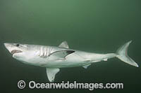 Porbeagle Shark Lamna nasus Photo - Andy Murch