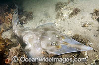 Eastern Shovelnose Ray Photo - Andy Murch