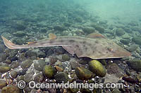 Shovelnose Ray Guitarfish Photo - Andy Murch