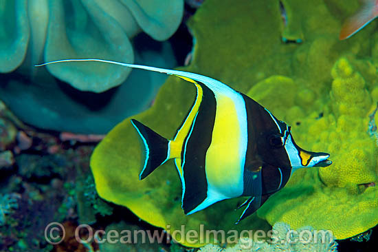 Moorish Idol Photos, Pictures & Images