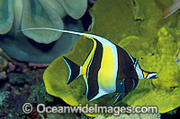 Moorish Idol Zanclus cornutus Photo - Gary Bell