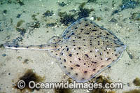 Little Skate Leucoraja erinacea photo