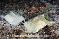 Egg cases of Big Skate photo