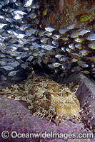 Banded Wobbegong Shark Photo - Andy Murch