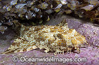 Banded Wobbegong Shark Orectolobus halei Photo - Andy Murch
