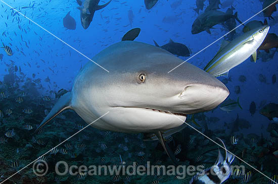 Bull Shark (Carcharhinus leucas). Also known as River Whaler, Freshwater Whaler and Swan River Whaler. Viti Levu, Fiji Islands. Found worldwide in tropical and warm temperate seas and penetrates freshwater for extended periods. Very Dangerous shark. Photo - Michael Patrick O'Neill