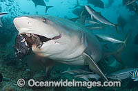 Bull Shark feeding photo