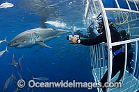 Scuba Divers in Shark Cage photo