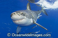 Great White Shark Carcharodon carcharias Photo - MIchael Patrick O'Neill