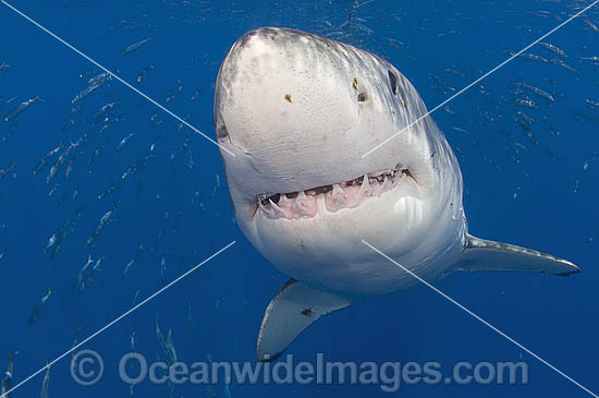 Great White Shark (Carcharodon carcharias) underwater. Also known as White Pointer and White Death. Guadalupe Island, Baja, Mexico, Pacific Ocean. Listed as Vulnerable Species on the IUCN Red List.