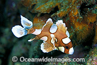 Many-spotted Sweetlips Plectorhinchus chaetodontoides Photo - Gary Bell