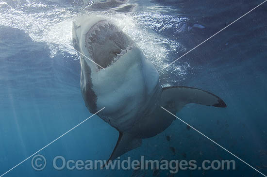 Great White Shark (Carcharodon carcharias) - with mouth open underwater. Also known as White Pointer and White Death. Guadalupe Island, Baja, Mexico, Pacific Ocean. Listed as Vulnerable Species on the IUCN Red List.