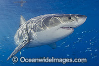 Great White Shark underwater Photo - MIchael Patrick O'Neill