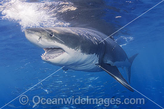 Great White Shark (Carcharodon carcharias) with mouth open. Also known as White Pointer and White Death. Guadalupe Island, Baja, Mexico, Pacific Ocean. Listed as Vulnerable Species on the IUCN Red List.