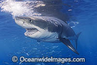 Great White Shark (Carcharodon carcharias) with mouth open. Also known as White Pointer and White Death. Guadalupe Island, Baja, Mexico, Pacific Ocean. Listed as Vulnerable Species on the IUCN Red List. Photo: MIchael Patrick O'Neill