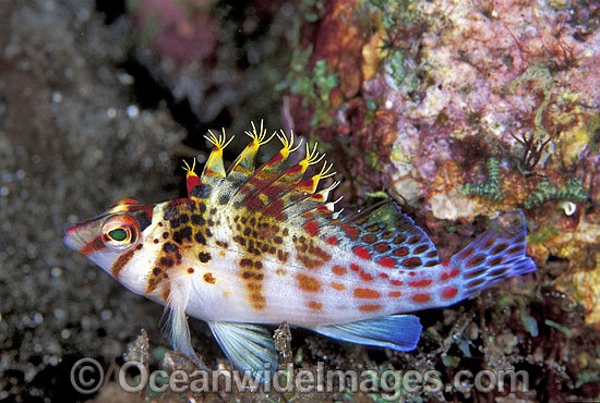 Coral Hawkfish (Cirrhitichthys falco). Great Barrier Reef, Queensland, Australia