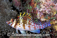 Coral Hawkfish Cirrhitichthys falco photo
