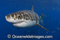 Great White Shark White Death Photo - MIchael Patrick O'Neill
