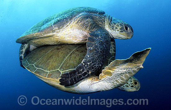 Green Sea Turtles (Chelonia mydas) - mating. Juno Beach, Florida, USA. Found in tropical and warm temperate seas worldwide. Listed on the IUCN Red list as Endangered species. Photo - Michael Patrick O'Neill