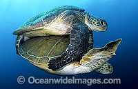 Green Sea Turtles mating photo