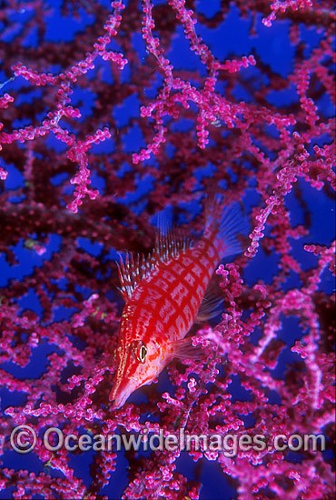 Long-nose Hawkfish (Oxycirrhites typus) on Gorgonian Fan Coral. Great Barrier Reef, Queensland, Australia Photo - Gary Bell