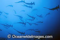 Schooling Scalloped Hammerhead Sharks Photo - Michael Patrick O'Neill
