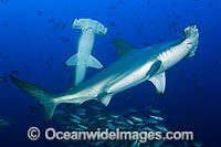 Scalloped Hammerhead Shark Photo - Michael Patrick O'Neill