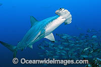Scalloped Hammerhead Sharks Photo - Michael Patrick O'Neill