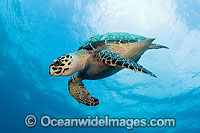 Hawksbill Sea Turtle photo